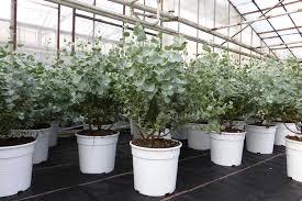 eucalyptus gunni gunnii busch kugel kaufland de