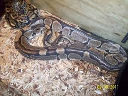 Ball Python Shedding Signs by Are Any Of My Ball Pythons Showing Signs Of Being Gravid