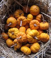 Cinderella Pumpkin Seeds Australia by Organic Vegetable Seeds Online Pumpkin