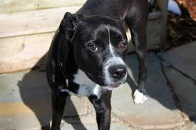 Low Shedding Big Dogs by Boxer Lab Mix A K A Boxador U2013 Breed Info Characteristics And