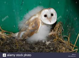 Barn Owl Chick (owlet) In A Owl Box Stock Photo, Royalty Free ... Photographs Of Barn Owls Leigh Ornithological Society 110317 Greenscape Environmental Owl In Flight Limited Edition Print By Robert E Fuller Designstuff Charming 3 Clotheshopsus Vintage Poster Barn Owl Birds Pinterest Owls Day 207 Katy Lipscomb Online Store Powered Never Lose Hearing Youtube Best 25 Sounds Ideas On Beautiful Its Time To Decorate For Fall Wisdom Art Miss Majewiczs Emporium The Heart Facts Pictures Diet Breeding Habitat Behaviour