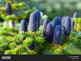 Silvertip Fir Christmas Tree by Plant Recommendations Which Of These Trees Are Good For Growing