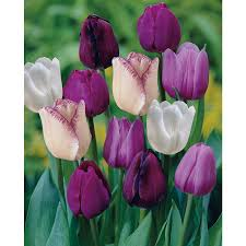 shop garden state bulb 35 pack purple blend tulip bulbs at lowes