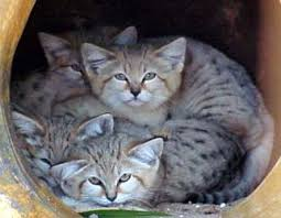 Sand cat facts photos videos sounds and news