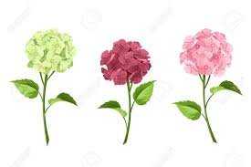 Vector Set Of Pink Maroon And Green Hydrangea Flowers With Stems Isolated On A White