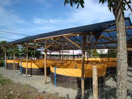 Inspirational Backyard Fish Farming   Architecture-Nice Image Of Tambuka Backyard Fish Farming Aquaculture Pinterest Backyard Landscape Design Tilapia Farm For Sale Turn Your Backyard Into A Raise At Home Inspirational Architecturenice Genetic Research Turning Into Major Global Commodity Photo With Wonderful In The Aquaponic Update Steps Back Now Picture On Rice Capvating Aquaponics Design And Ideas House Backyards Bright Olympus Digital Camera Traing Learn From Anywhere Pictures