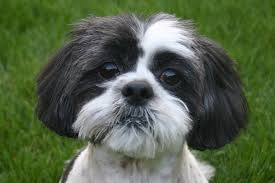 Non Shedding Hypoallergenic Small Dogs by Top Hypoallergenic Dogs Archives Page 2 Of 2 Hypoallergenic