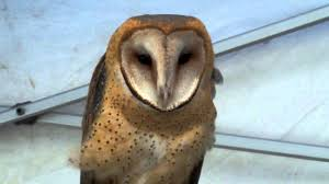 Barn Owl Talking (Screech) - YouTube White Screech Owl Illustration Lachina Bbc Two Autumnwatch Sleepy Barn Owl Yoga Bird Feeder Feast And Barn Wikipedia Attractions In Cornwall Sanctuary Wishart Studios Red Eastern By Ryangallagherart On Deviantart Owlingcom Biology Birding Buddies 2000 Best 2 Especially Images Pinterest Screeching Youtube