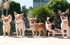 100 Where Is Chihuahua Located Texas Rescue Helping Small Dogs Live Big Dreams