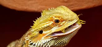 Bearded Dragon Shedding A Lot by What Can Your Bearded Dragon Eat The Best Food For Your Beardie U0027s