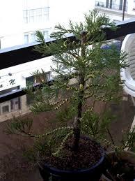 pot bonsai grande taille séquoia géant les chuhin et autres grands bonsaï forums