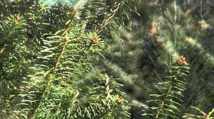 Fresh Christmas Trees Types by Christmas Tree Species Canaan Fir Youtube