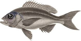Tilapia Fauna Perch Fish