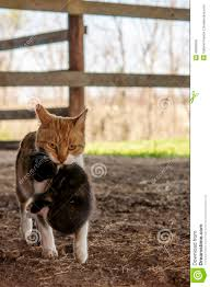 Barn Cat Carrying Kitten Stock Image. Image Of Mother - 40383605 Ferals Strays And Barn Cats Cat Tales Tuesdays Fun And Aww My Moms Is Gorgeous Viralspell The Care Feeding Of Timber Creek Farm Program Buddies Seeking Support For Its Catsaving Efforts Adoption Barn Cats Near Bardstown Ky Petfinder For Green Rodent Control Turn To Barn Cats The Flying Farmers Free Images Wood Old Animal Cute Wall Pet Rural Sitting On Top Of Bales Straw Ready To Pounce Stock Weve Got Hire Central Missouri Humane Society By Jsf1 On Deviantart