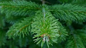 Christmas Trees Types Uk by Greenfields Christmas Trees