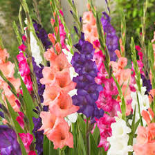 planted summer blooming bulbs american