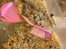 Pine Bedding For Guinea Pigs by The 25 Best Shaved Guinea Pigs Ideas On Pinterest What Is A