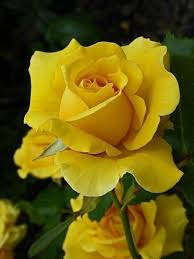 1002 best Yellow Roses images on Pinterest