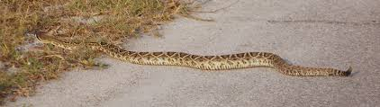 Rattle Snake, Ft Pickens, Florida | Nature In Our Backyard | Pinterest Backyard Snakes Effective Wildlife Solutions Snakes And Beyond 65 Best Know Them Images On Pinterest Georgia Of Louisiana Department Fisheries Southern Hognose Snake Florida Texas Archives What Is That 46 The States Slithery Species Nolacom Scarlet Kingsnake Cottonmouth Eastern Living Alongside Idenfication Challenge The Garden Or Garter My Species List New Engdatlantic