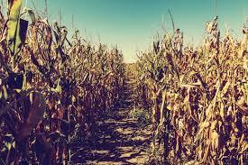 Pumpkin Patch Dixon Ca by 911 Calls From Inside Corn Mazes Officially A Thing Modern Farmer