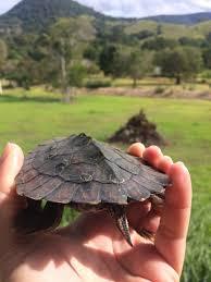 Turtle Shell Not Shedding Properly by Not Basking Australian Freshwater Turtles