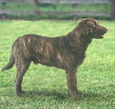 Chesapeake Bay Retriever Molting by What Caused The Brindling In The Early Retrievers And The St