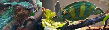 Basking Lamp For Chameleon by Chameleon Vivarium U0026 Terrarium Info Facts U0026 Cheat Sheets