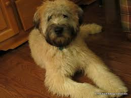 soft coated wheaten terriers and allergies the food allergy
