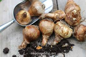 flower bulb planting tips for beginners empress of dirt