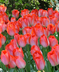 collection d colossal darwin hybrid tulips special