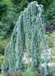 Weeping Blue Atlas Cedar Tree Cedrus Atlantica Glauca Pendula