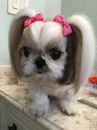 Beautiful little Shih Tzu ShihTzu Shih Tzus Pinterest
