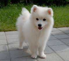 Do Samoyeds Shed All The Time by 100 Do Samoyed Puppies Shed Scratch Dog Or Not U2013 Are