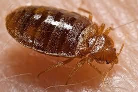 Bedbugs Facts Bites and Infestation