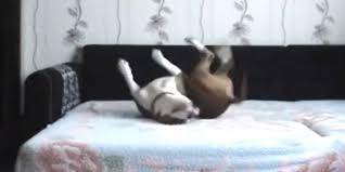 Hidden Camera Catches Dog Living The High Life Forbidden Bed