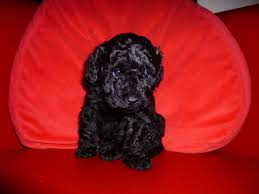 My Lhasa Apso Is Shedding Hair by Lhasa Poo Lhasa Apso Poodle Mix Info Temperament Puppies Pictures