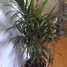wie oft soll ich eine palmpflanze ikea gießen pflanzen