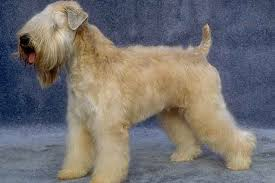 Do Wheaten Terrier Dogs Shed by Wheaten Terrier Temperament U0026 Personality