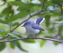 Blue Gnatcatcher, Found In Southern Ontario, Eastern United States ... Wild Birds Unlimited Common Backyard Bird Nest Idenfication Sounds Articles Old Farmers Almanac Whibreasted Nuthatch Sitta Carolinensis Birds Certhioidea Best 25 Birds Ideas On Pinterest Pretty Blue A Brown Headed Cowbird At Thicksons Woods Debunk 12 Myths About Feeding Cute Rbreasted Nuthatch Winter Of Wisconsin Species Infographic Poster By Diana Sudyka The Worlds Photos And Sviceberry Flickr Hive Mind Grow These Native Plants So Your Can Feast Audubon What I Find In My Ontario Canada Youtube