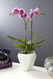 orchidée papillon avec cache pot villaverde