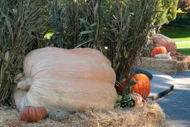Largest Pumpkin Ever Grown 2015 by World U0027s Largest Pumpkin To Be Carved At The New York Botanical