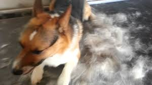 Do Shiba Dogs Shed by How Much Fur Does A Corgi Shed Youtube