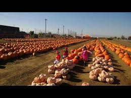 Del Oso Pumpkin Patch Lathrop Ca by Find Corn Mazes In Lathrop California Dell U0027osso Family Farms In