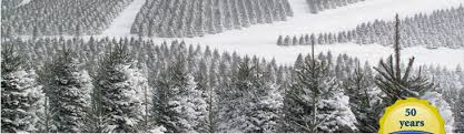 Frasier Christmas Tree Cutting by Cartner Christmas Tree Farm
