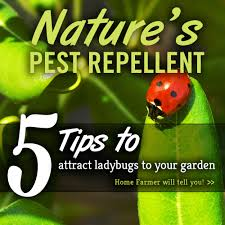 Attracting Insects To Your Garden by 5 Tips To Attract Ladybugs To Your Garden Home Farmer