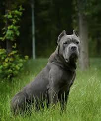 My Cane Corso Shedding A Lot by Straw Cane Corso In Maxima Lux Kennel Kane Korso Pinterest