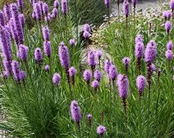liatris spicata how to grow care for dense blazing