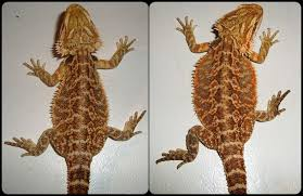 Bearded Dragon Shedding Help by Before And After Shed U2022 Bearded Dragon Org