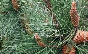 Melissa Pine Tree Garden Seeds