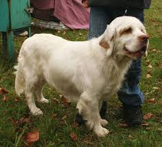 Springer Spaniel Shed Hunting by Clumber Spaniel Wikipedia